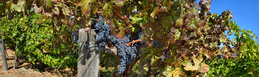 Harvest Time Napa Valley