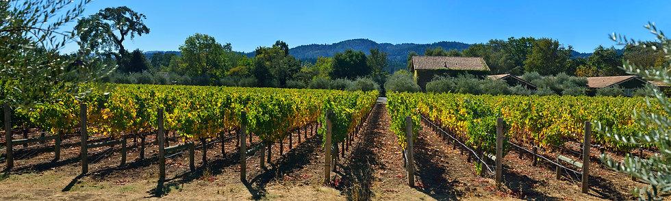 Vineyard near St Helena