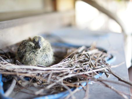 小鳩が誕生!おめでとー パチパチ