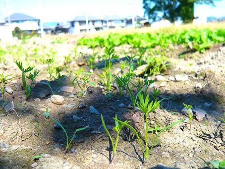 つぼみの畑 成長記録