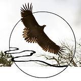 junger Seeadler LOGO Kopie.jpg