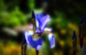 lilja.jpg