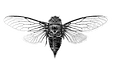 cicada_o_rubrovenosa_hero-2_edited.png