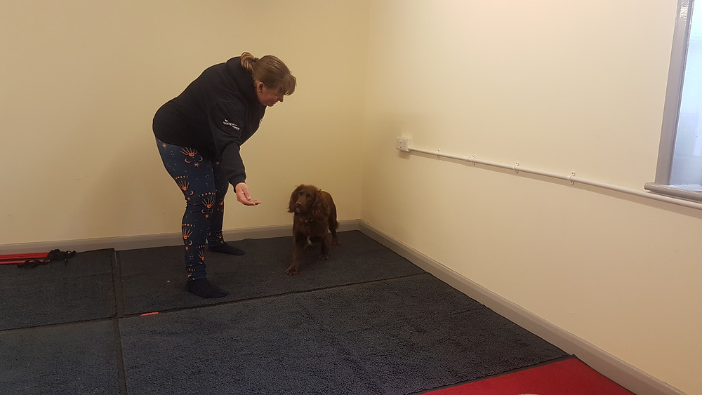 Handler with open handful of treats that a cocker spaniel is moving towards