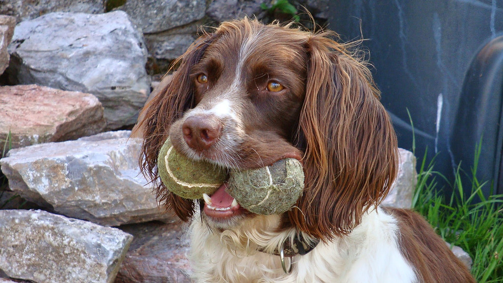 Springer spaniel with two tennis balls in his mouth