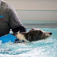 Tor the lurcher in the hydrotherapy pool