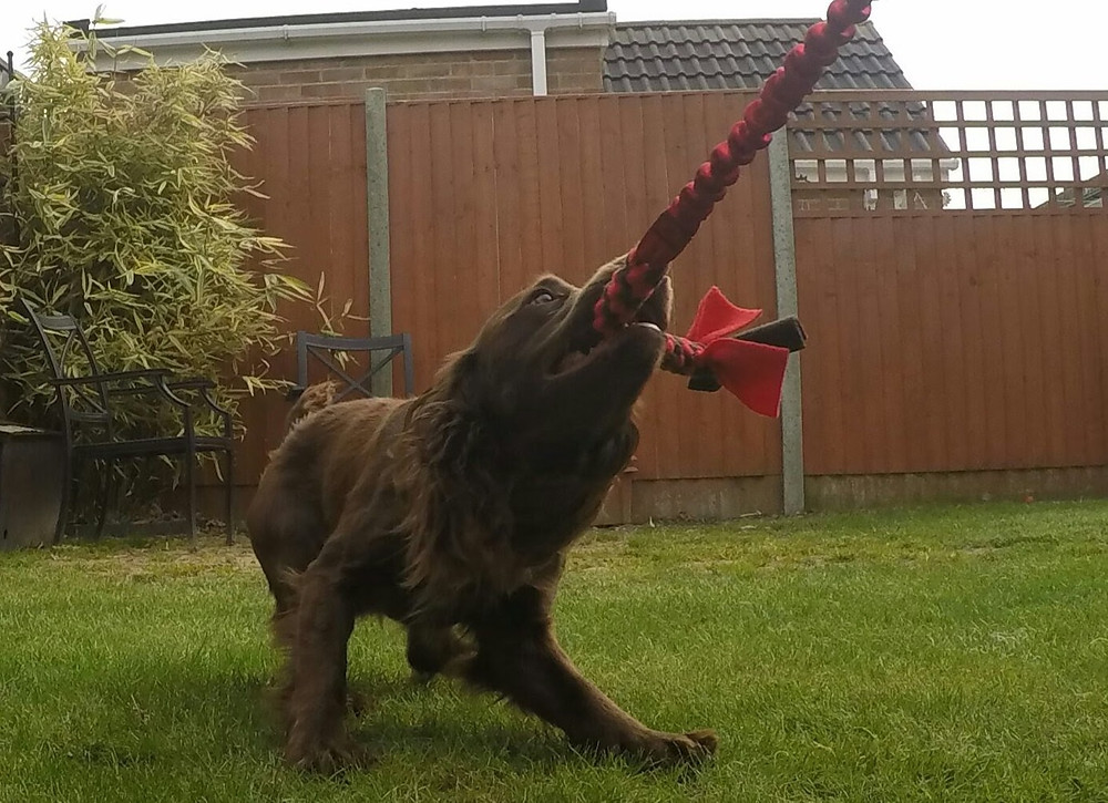 A liver cocker spaniel tugging hard on a toy.