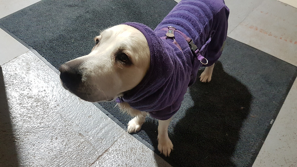 Golden retriever dog wearing a purple drying coat up over her ears