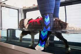 Vinnie having hydrotherapy in the underwater treadmill