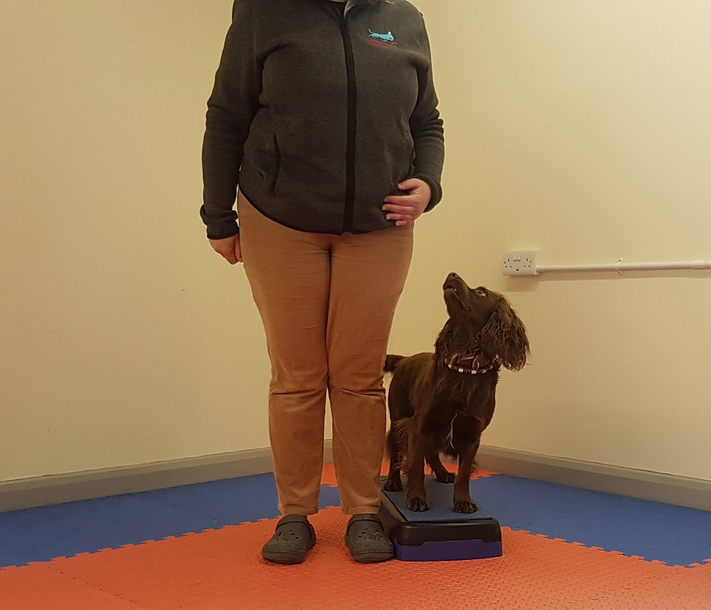 A liver spaniel on a platform looking up at the handler standing next to him