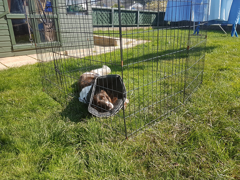 Dog with a medical cone lying on the grass in a pen