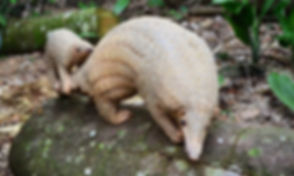 Singapore Zoo pangolin.jpg