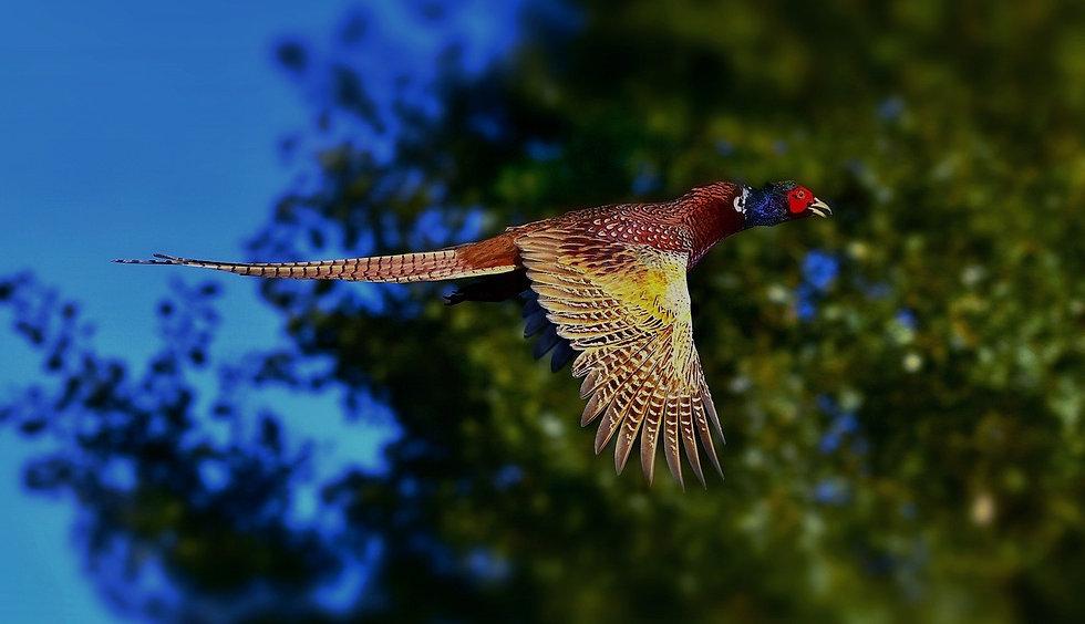 ring-necked-pheasant-3713163_1280_edited