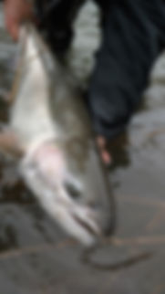 Olympic peninsula wild steelhead on spey rod