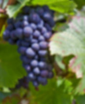 WINE_Red Grapes on vine.png