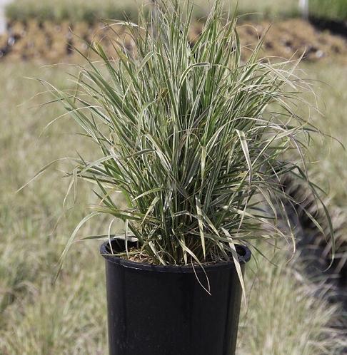 Decorative Grass 'Overdam Calamagrostis'