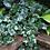 Thumbnail: Baltic Ivy