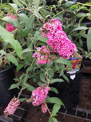 Butterfly Bush (Pink)