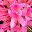 Thumbnail: Azalea 'Rosy Lights'