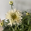 Thumbnail: Shasta daisy