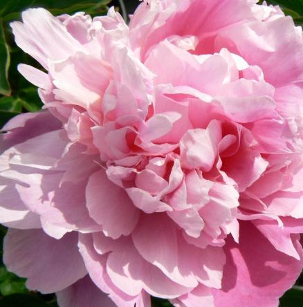 Peony 'Pink Parfait'