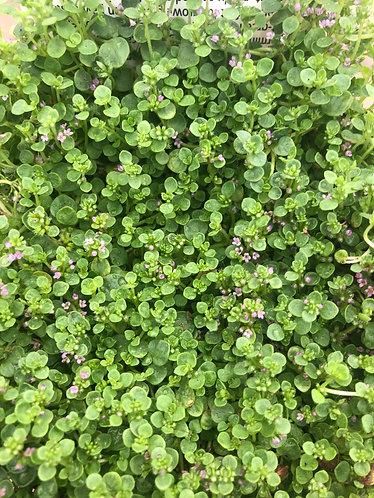 Corsican Creeping Mint