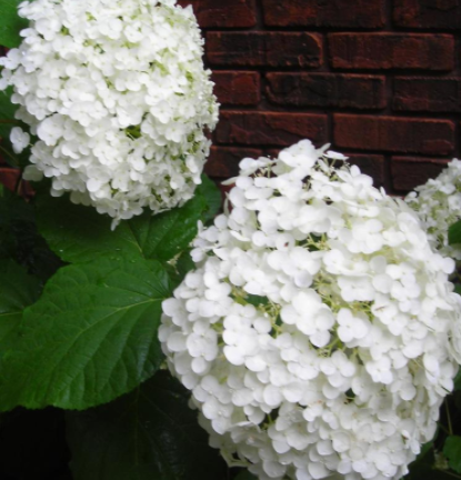 Hydrangea Incrediball (white)