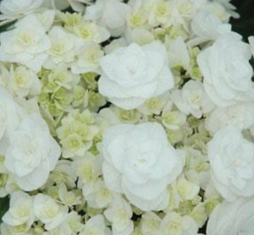 Hydrangea 'Wedding Gown'