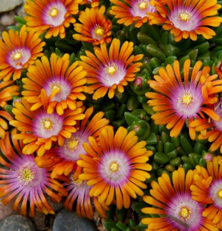 Ice Plant 'Fire Spinner'