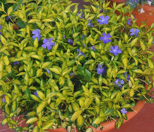 Periwinkle 'Minor Illumination'