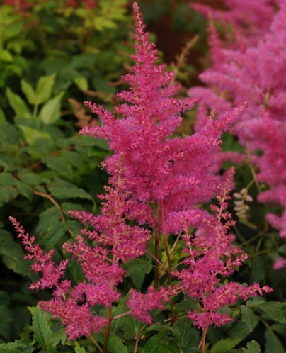 Lilac 'Astilbe Younique'