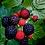 Thumbnail: Black Raspberry
