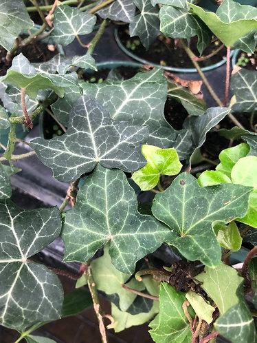 Baltic Ivy