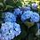 Thumbnail: Hydrangea 'Endless Summer Bailmer'