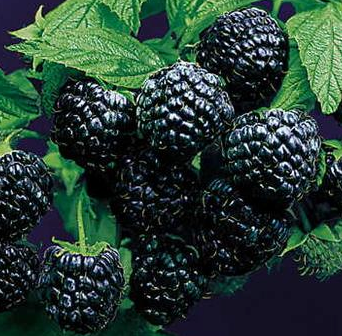 Raspberry 'Jewel'