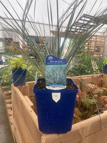 Decorative Grass 'Blue Oat'
