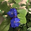 Thumbnail: Blue Leadwort