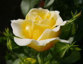 Rose 'Yellow Brick Road'