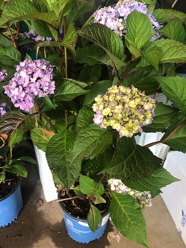 Hydrangea 'Bloom Struck'
