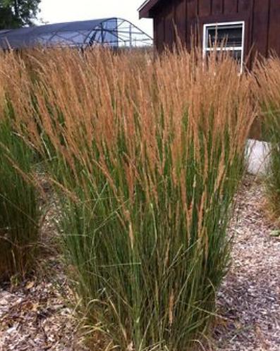 Decorative Grass 'Karl Foerster'