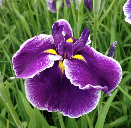 Iris 'Crystal Halo'