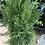 Thumbnail: Cedar Emerald