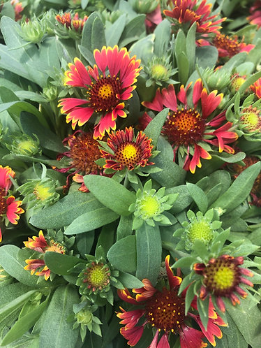Blanket Flower 'Orange Halo'