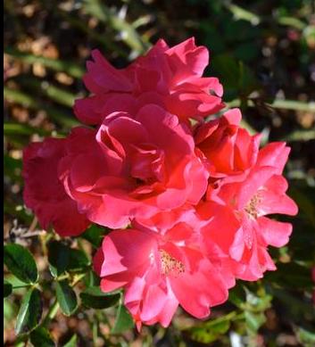Rose 'Carpet Pink Supreme'