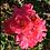 Thumbnail: Rose 'Carpet Pink Supreme'