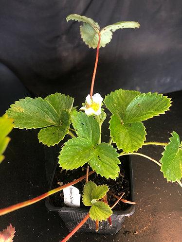 Strawberry 'Eversweet'
