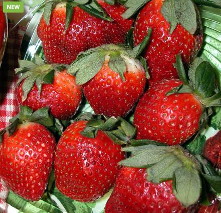 Strawberry 'Honeoye'