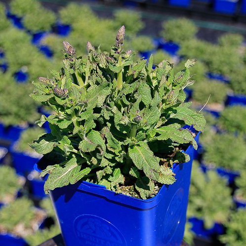Sage 'Salvia May Night'