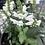 Thumbnail: Dwarf Obedient Plant