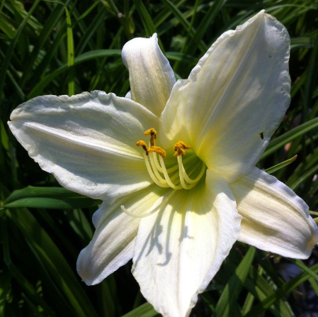 Day Lily 'Dads Best White'
